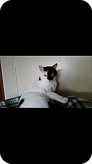 Domestic Shorthair Cat for adoption in Jefferson, Ohio - Sassy