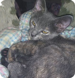 Domestic Shorthair Kitten for adoption in Winchester, California - Lulu