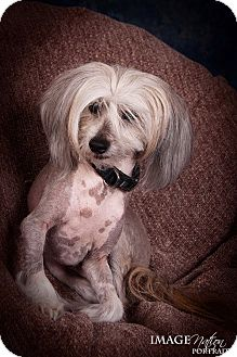 Chinese Crested Dog for adoption in Bridgeton, Missouri - Aaron-Fostered in KC