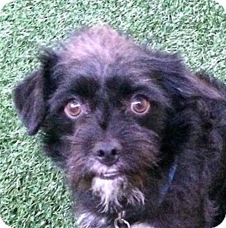 Affenpinscher Mix Dog for adoption in Encinitas, California - Pepper