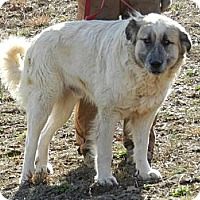 Great Pyrenees/Anatolian Shepherd Mix Dog for adoption in Lawrenceburg, Tennessee - Fred