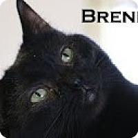 Domestic Shorthair Cat for adoption in Union Lake, Michigan - Brenna>^.,.^< $35 adoption