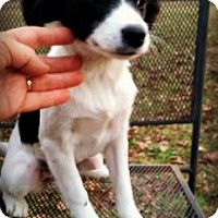 Adopt A Pet :: Harriet - Kimberton, PA