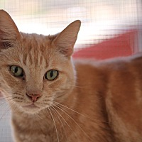 Domestic Shorthair Cat for adoption in El Cajon, California - Pickle