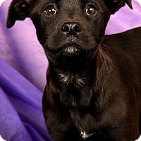 Adopt A Pet :: Callie BoxLab - St. Louis, MO