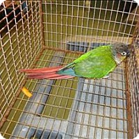 Adopt A Pet :: Connor Conure - Raleigh, NC