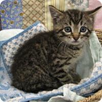 Domestic Shorthair Kitten for adoption in Redwood Falls, Minnesota - Parker