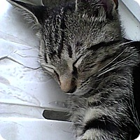 Adopt A Pet :: Baby Cakes - Tabby - Mobile, AL