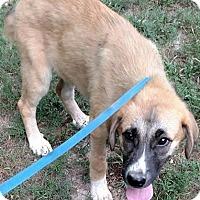Adopt A Pet :: Shirley - Windham, NH