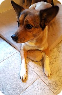 Corgi/Beagle Mix Dog for adoption in Savannah, Georgia - Riley 2
