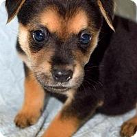 Adopt A Pet :: Martina - Arlington, VA
