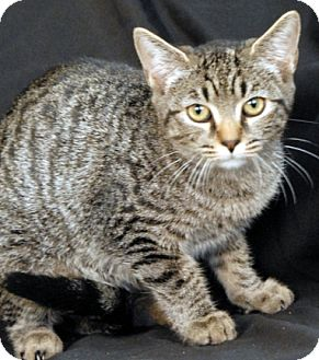 Domestic Shorthair Cat for adoption in Newland, North Carolina - Safari