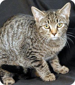 Domestic Shorthair Cat for adoption in Newland, North Carolina - Safari