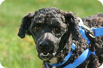 Poodle (Miniature) Mix Dog for adoption in Carlsbad, California - Ebony