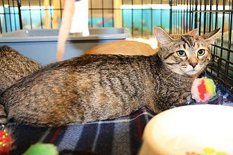 Domestic Shorthair Kitten for adoption in Rochester, Minnesota - Libby