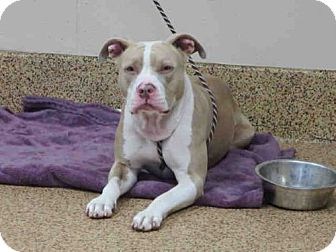 Pit Bull Terrier Mix Dog for adoption in Springfield, Massachusetts - TAYLOR