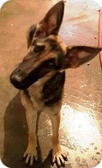 German Shepherd Dog Puppy for adoption in Oswego, Illinois - Landry