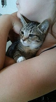 Domestic Shorthair Kitten for adoption in Locust, North Carolina - Mittens