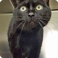 Domestic Shorthair Cat for adoption in Channahon, Illinois - Nebula