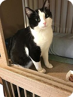 Domestic Shorthair Cat for adoption in Hanna City, Illinois - Bud-adoption pending