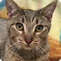 Domestic Shorthair Cat for adoption in Lafayette, New Jersey - Bailey