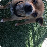 Adopt A Pet :: Papi - Chula Vista, CA