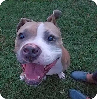 Pit Bull Terrier/Terrier (Unknown Type, Medium) Mix Dog for adoption in Knoxville, Tennessee - Brewster