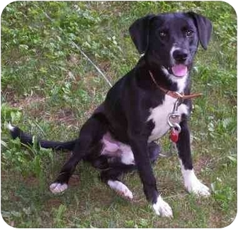 labrador retriever terrier mix kurt adopted dog mcconnelsville oh labrador 8377