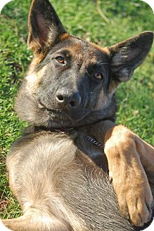 German Shepherd Dog Puppy for adoption in Altadena, California - Timber