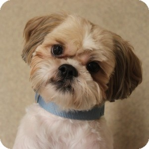 lhasa apso and shih tzu mix carmel adopted dog 13 0667 naperville il lhasa 1817