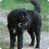 Adopt A Pet :: Cole - Okatie, SC