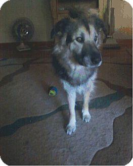 Irish Wolfhound/Newfoundland Mix Dog for adoption in O'Fallon, Missouri - Lakota