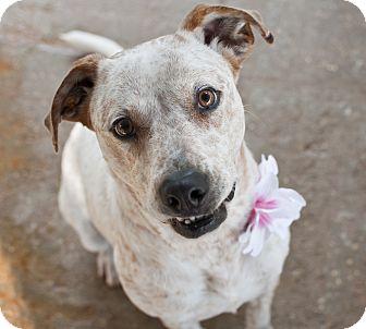 Staffordshire Bull Terrier/Australian Cattle Dog Mix Dog for adoption in Tanner, Alabama - Reba