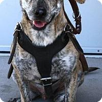 Adopt A Pet :: Chapo - Gilbert, AZ