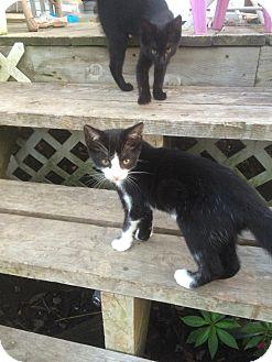 Domestic Shorthair Kitten for adoption in Clarkson, Kentucky - Freya