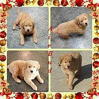Adopt A Pet :: Air Bud Adoption pending - Manchester, CT