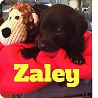 Adopt A Pet :: Zaley - Rexford, NY