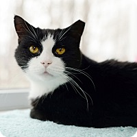 Domestic Shorthair Cat for adoption in Whitehall, Pennsylvania - Ed