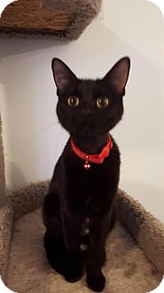 Domestic Shorthair Cat for adoption in South Bend, Indiana - Mamba