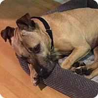 Adopt A Pet :: Sweetie - video! - Philadelphia, PA