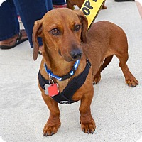 Adopt A Pet :: Sunny Snapdragon Blume - Houston, TX