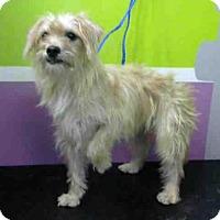 Adopt A Pet :: KIMBER - Houston, TX