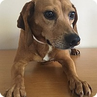 Beagle/Dachshund Mix Dog for adoption in Gahanna, Ohio - Lucy