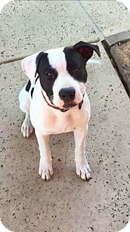 American Pit Bull Terrier Mix Puppy for adoption in White Settlement, Texas - Oreo - courtesy post