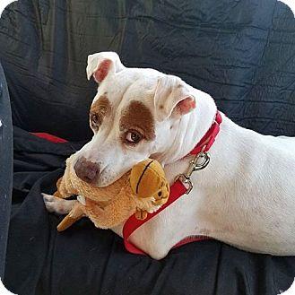 American Bulldog Mix Dog for adoption in Ft. Lauderdale, Florida - Koko