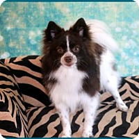 Pomeranian Dog for adoption in Dallas, Texas - Whiskey