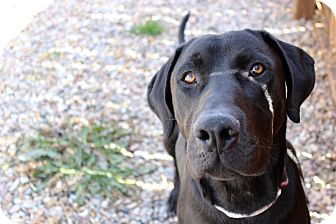 Labrador Retriever Dog for adoption in Logan, Utah - Luke