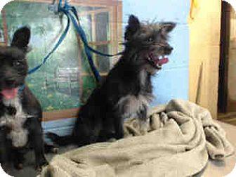 Cairn Terrier/Terrier (Unknown Type, Small) Mix Dog for adoption in San Bernardino, California - URGENT ON 10/20 San Bernardino