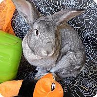 Adopt A Pet :: Theodocia - Alexandria, VA