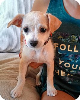 Chihuahua/Terrier (Unknown Type, Small) Mix Puppy for adoption in Redmond, Washington - Gill